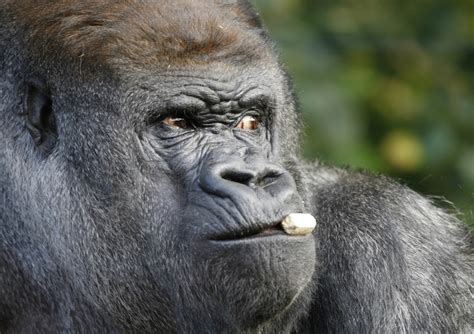 Koko the gorilla proves apes may be closer to being able