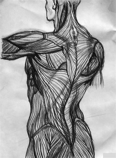 Charcoal drawing of human back muscles