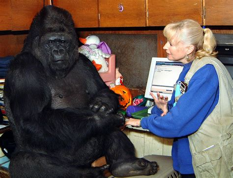 Koko, The Famous Gorilla Who Learned Sign Language & Loved
